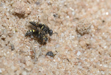 Solitary digger wasp (Oxybelus uniglumis) Mating attempt  Northern Vosges Regional Nature Park  France