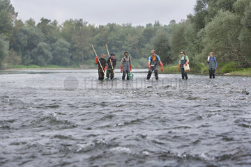 Atlantic salmon (Salmo salar) electric fishing on the Vieux-Rhin by the Saumon Rhin team  Search of the young fishes before migrating  Haut-Rhin  Alsace  France