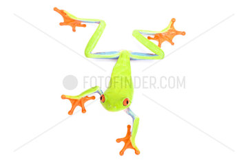 Red-eyed tree frog (Agalychnis callidryas) on white background