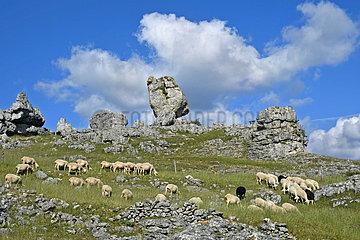 Flock of sheep  the rock Roc de l'Oule  Dolomitic chaos of Nîmes-le-Vieux  Causse Mejean  Cevennes National Park  France