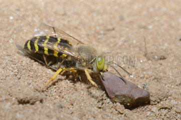 Sand wasp (Bembix rostrata) female removing a pebble in front of its gallery with its prey: a syrphe  Regional Natural Park of the Vosges du Nord  France
