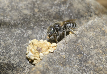 Mason bee (Osmia ravouxi) female building her egg-laying cell in the rocks  Regional Natural Park of the Vosges du Nord  France