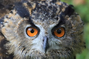 Portrait of Eagle Owl (Bubo bubo)  France
