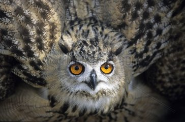 Eagle Owl in posture of intimidation France