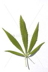Marijuana leaf in studio France