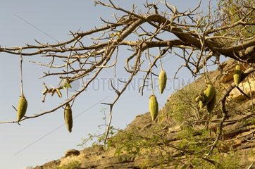 Baobab tree fruits Mali