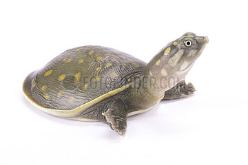 Spotted flapshell turtle (Lissemys punctata andersonià on white background