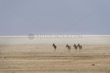 Burchell's zebra (Equus burchellii)  walking in the Pan  Namibia  Etosha national Park