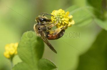 Solitary bee (Andrena schencki) female on flower of Clover  Regional Nature Park of the Vosges du Nord  France