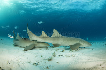 Nurse sharks (Ginglymostoma cirratum)  swimming over a sandy seabed  South Bimini  Bahamas. The Bahamas National Shark Sanctuary  West Atlantic Ocean.