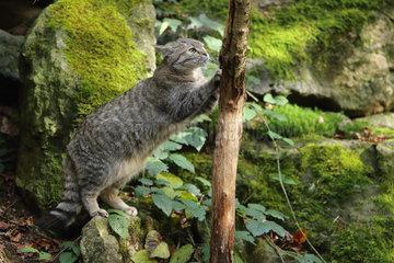 Wild Cat(Felis silvestris) sharping its claws on a tree  Bayerischer Wald  Germany