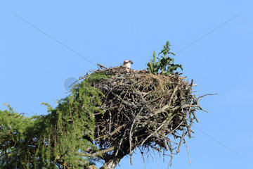 Osprey (Pandion haliaetus) adult observing et nest  Highland  Scotland