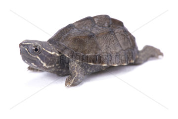 Musk turtle (Sternotherus odoratus) on white background