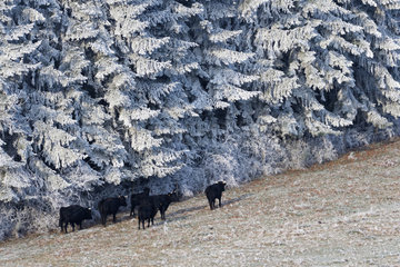 Cows and bull (Bos taurus) in a frosty meadow  Lorraine  France