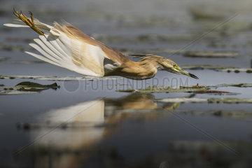 Squacco Heron (Ardeola ralloides) Diving flight  Ferrara  Italy