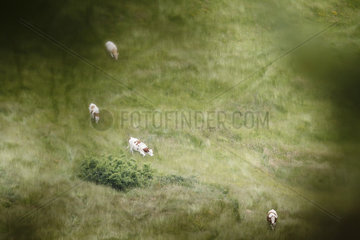 Cows grazing in the Vosges  Alsace  France