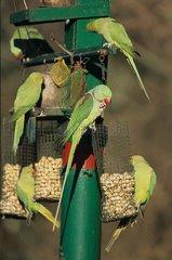 Perruches alexandre se nourrissant au centre de nourrissage