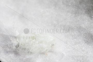 Citrus Flatid Planthopper on white petal - France