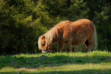 Shetland pony in the meadow