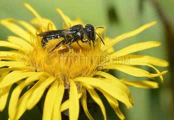Large-headed resin bee (Osmia truncorum) female on Swordleaf Inula (Inula ensifolia)  Regional Natural Park of the Vosges du Nord  France