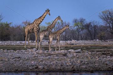 Giraffe (Giraffa camelopardalis) at the waterhole  Namibia  Etosha national park