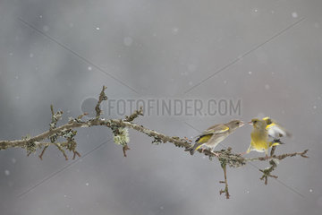 Greenfinches on branch in winter - Vosges France