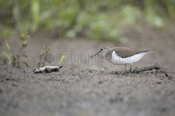 Green Sandpiper (Tringa ochropus) and toad on the back  France