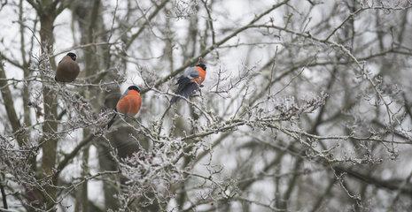 Couple of Bullfinches (Pyrrhula pyrrhula) on frozen branch  Regional Natural Park of the Vosges du Nord  France