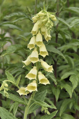 Yellow Foxglove blossom - Alpes France