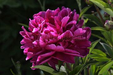 Paeony 'Adolphe Rousseau' in bloom in a garden