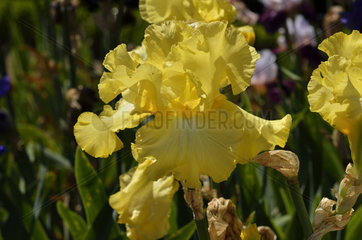 German iris 'Rising Moon' in bloom in a garden
