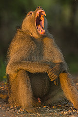 Chacma Baboon (Papio ursinus) yawning at sunrise  Kruger; South Africa