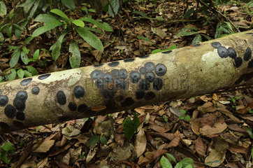 Flattened phase of Cigarette fungus on trunk - French Guiana
