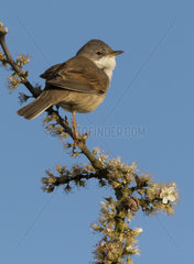 Whitethroat (Sylvia communis) Whitethroat perched on a blackthorn bush  England Spring