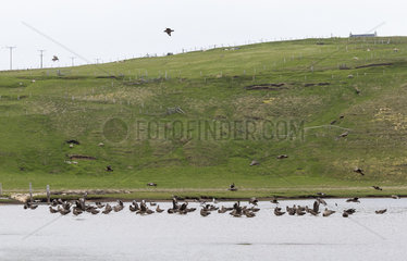 Great skua (Stercararius skua) Birds washing  Shetland  Unst  Spring