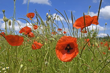 Poppies (Papaver rhoeas) flowers in meadow  Franceh-Comte  France