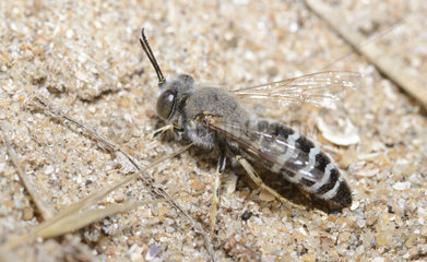 Sand wasp (Bembix oculata) in front of its gallery  dunes by the sea  Pays de Loire  France