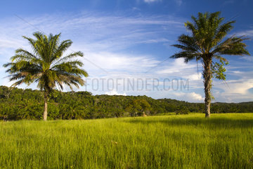 Palm trees in a meadow and Atlantic Forest - Bahia Brazil