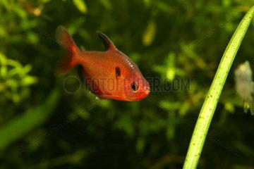 Jewel tetra (Hyphessobrycon eques) in aquarium
