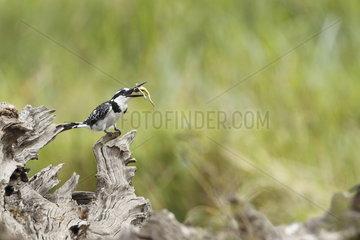 Pied Kingfisher (Ceryle rudis)  Masaï Mara  Kenya