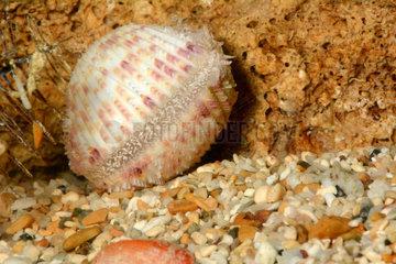Ctenocardia on sand - Southern Lgoon New Caledonia