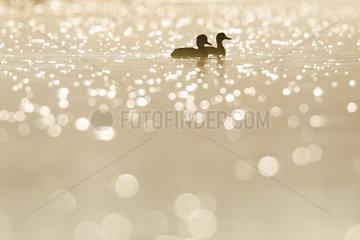 Pair of Tufted Duck (Aythya fuligula) at dawn with flare  Ile du Rhin  Alsace  France