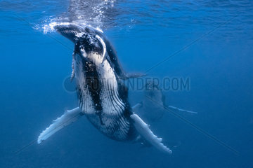 Humpback whale (Megaptera novaeangliae) female helping her calf to breathe on the surface  French Polynesia
