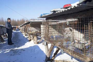 Fox farm and Raccoon dogs for furs  Hengdaohezi  Heilongjiang  China