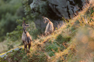 Alpine Chamois (Rupicapra rupicapra) and young  Vosges  France