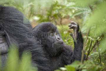 Mountain gorilla (Gorilla beringei beringei) looks his hand - Rwanda