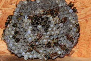 European paper wasp (Polistes dominula) on nest  France