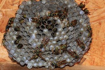 European paper wasp (Polistes dominula) on nest  France