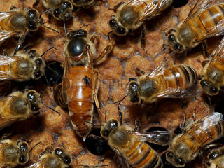 Honey bee (Apis mellifera) - Honeybee Queen laying on a comb with honeybees: A queen surrounded by her court who feeds and cleans her. We can see the eggs being laid.