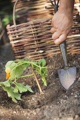 Plantation of zucchini seedling in a kitchen garden